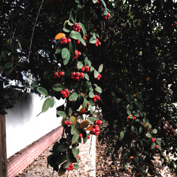 streetphotography berries leaves photography freetoedit