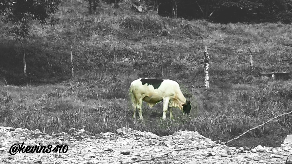 #vaca #cow #blackandwhite  #campo  #FreeToEdit