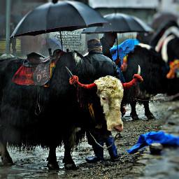 freetoedit rain petsandanimals nature yak