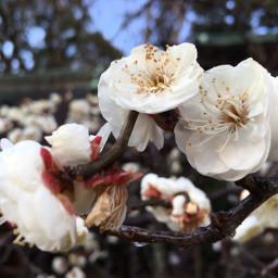 kitano japan kyoto plumblossom