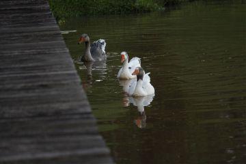 duck pato agua represa freetoedit