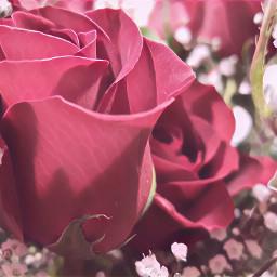 rose flowers pink pinklove