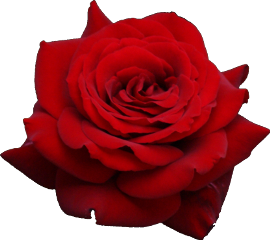 red rose freetoedit