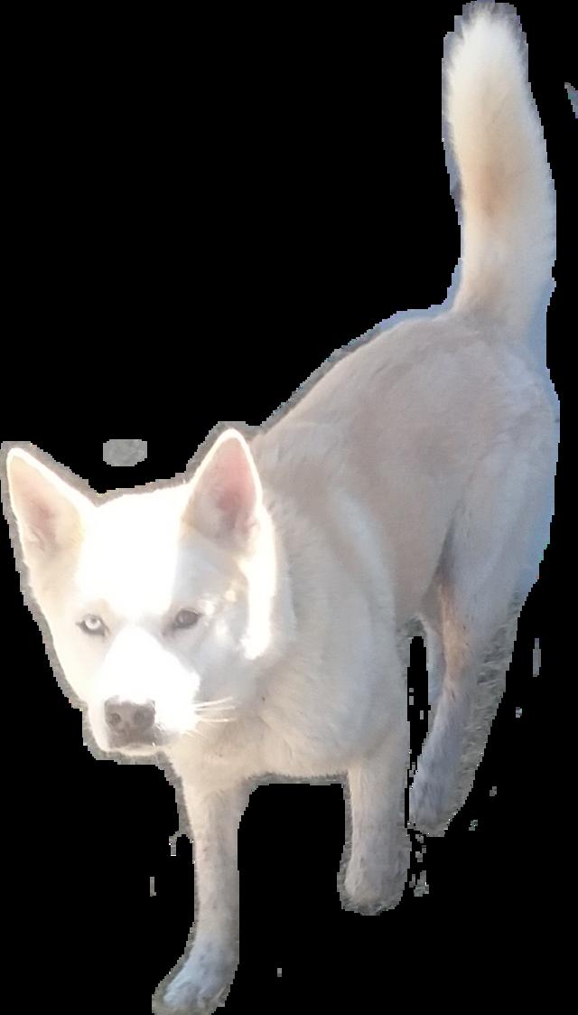 #doggo #dog #husky #siberian #bicolor #bicolored #whitehusky