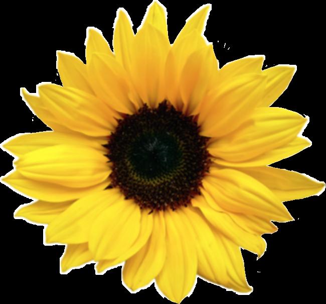 #sunflower#FreeToEdit